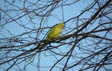 foto van een geel/groene parkiet tussen de takken van een boom